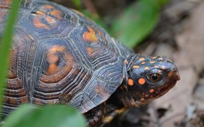Bo's Turtle